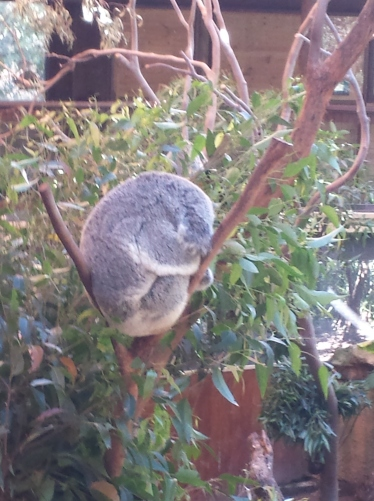 poorly koala