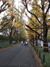 Famous avenue with gingko trees